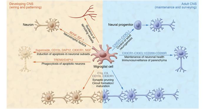 Homeostatic function of microglia in the developing and adult CNS. In ad...