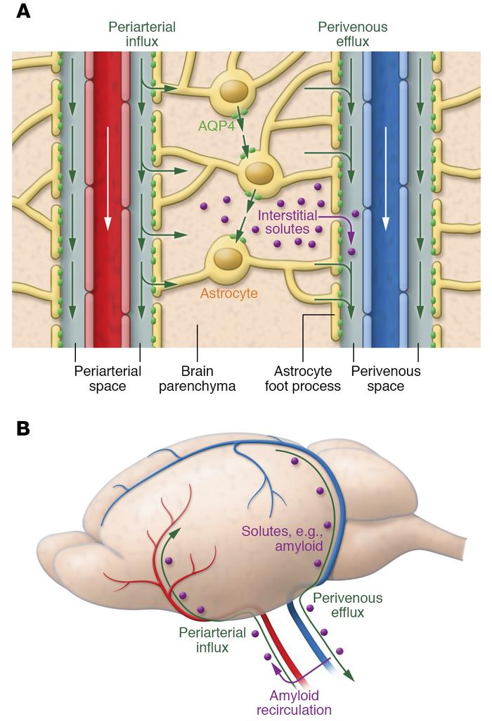 Circulation of CSF, ISF, and brain solute through the glymphatic pathway...