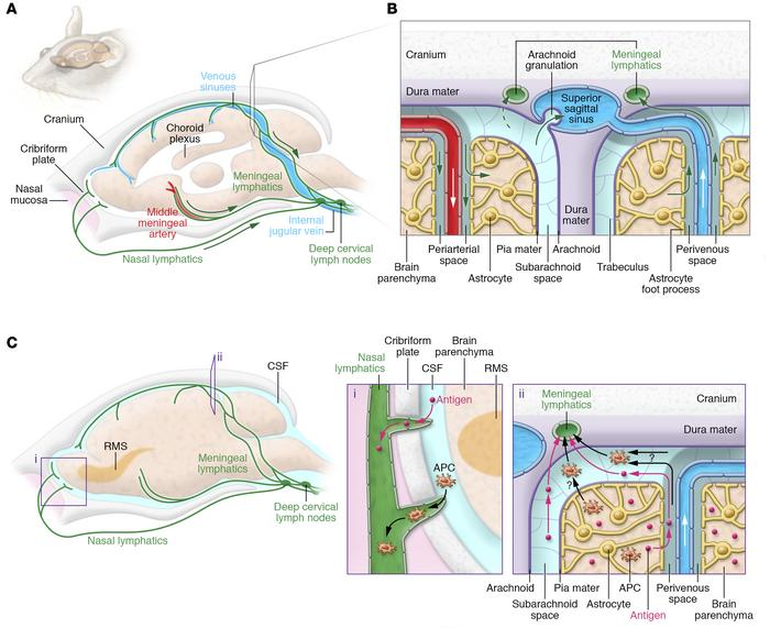 Jci understanding the functions and relationships of the glymphatic and lymphatic drainage pathways from the cns to the cervical ccuart Gallery