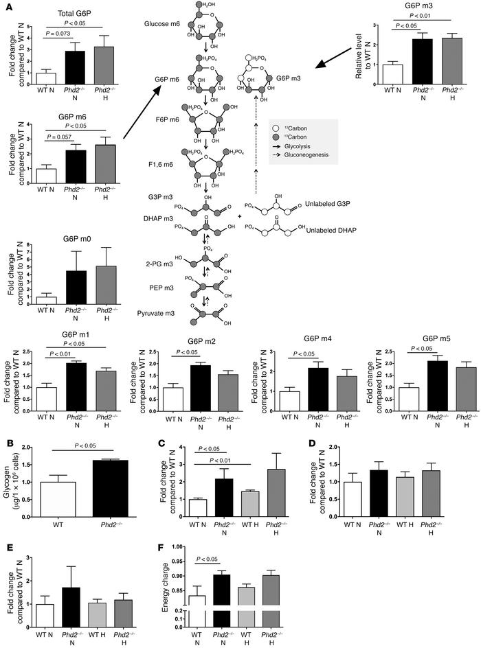 Inflammatory neutrophils deficient in Phd2 display enhanced glycolytic c...