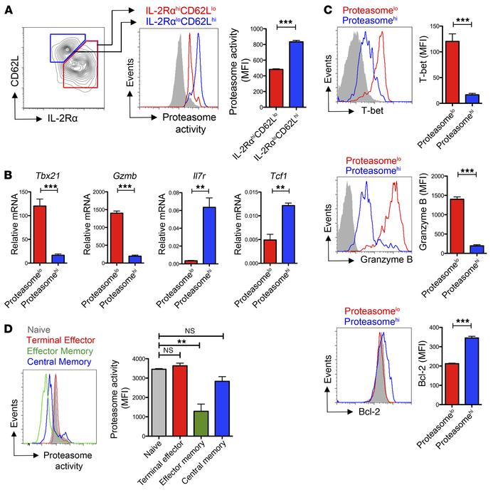 Differentially fated CD8+ T cells exhibit distinct rates of endogenous p...