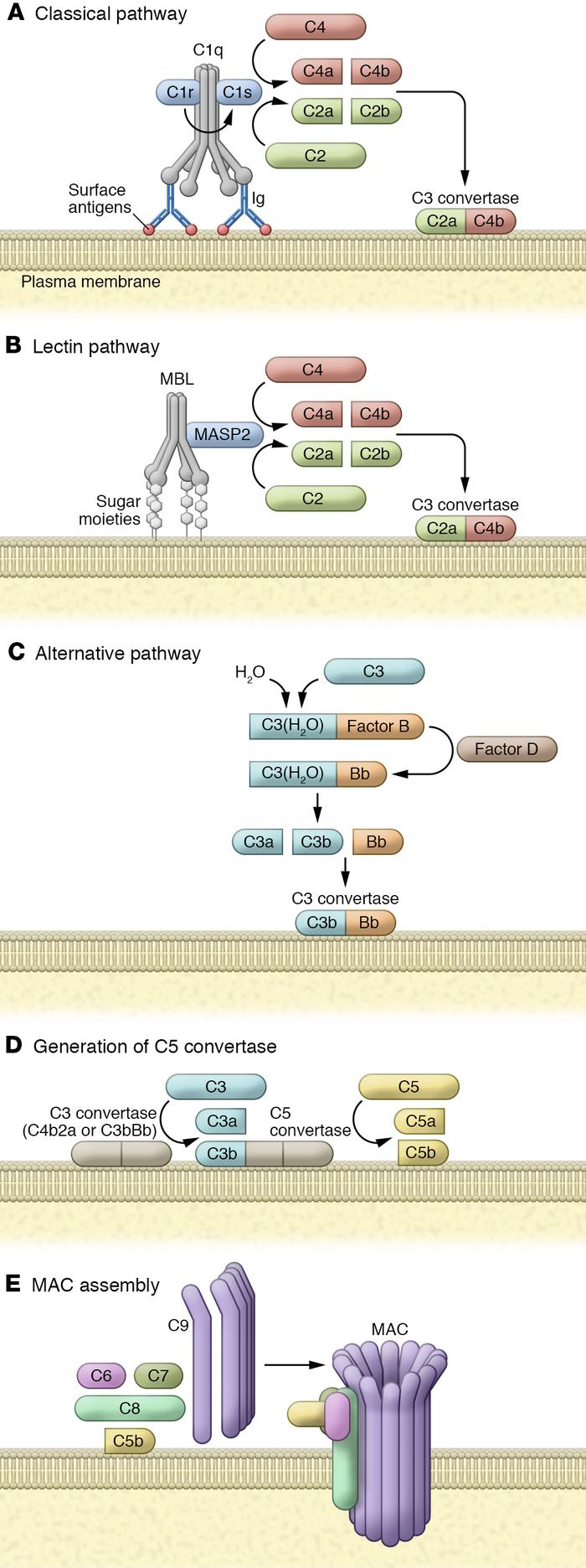 Complement activation. (A) The classical pathway is initiated by a compl...
