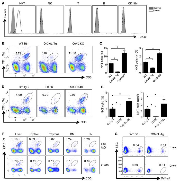 OX40 stimulation readily depletes iNKT cells in vivo. (A) Cell surface e...