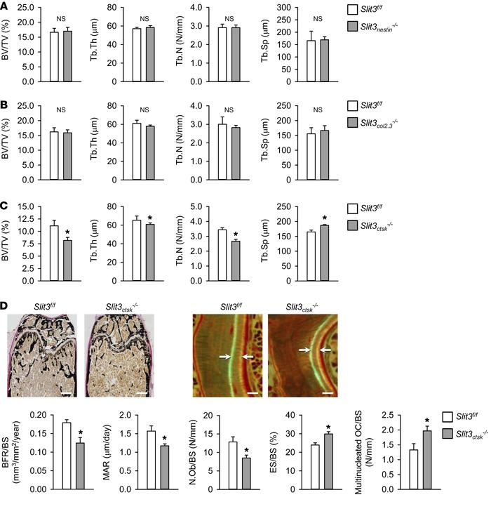 Osteoclast-derived SLIT3 is indispensable for normal bone mass in vivo. ...