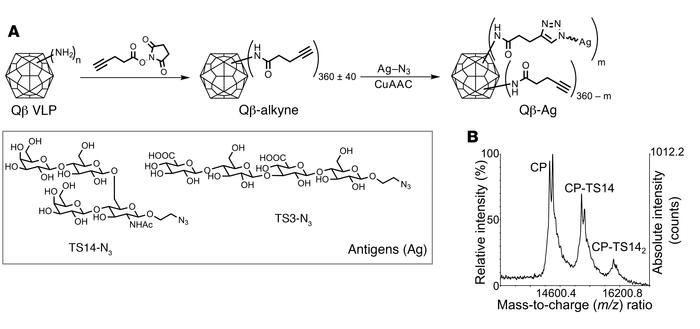 Synthesis of Qβ-tetrasaccharide conjugates. (A) Synthesis of Qβ-oligosac...