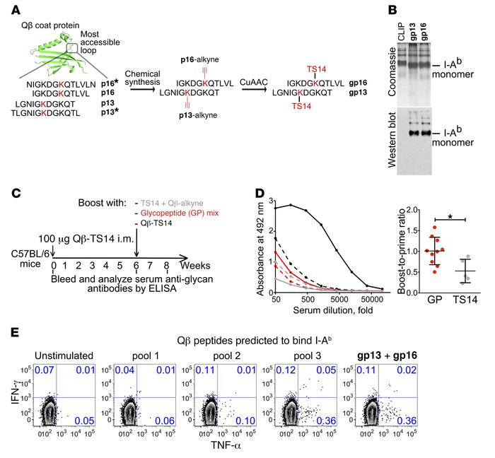 Evidence for the role of glycopeptide-specific CD4 T cells in the respon...