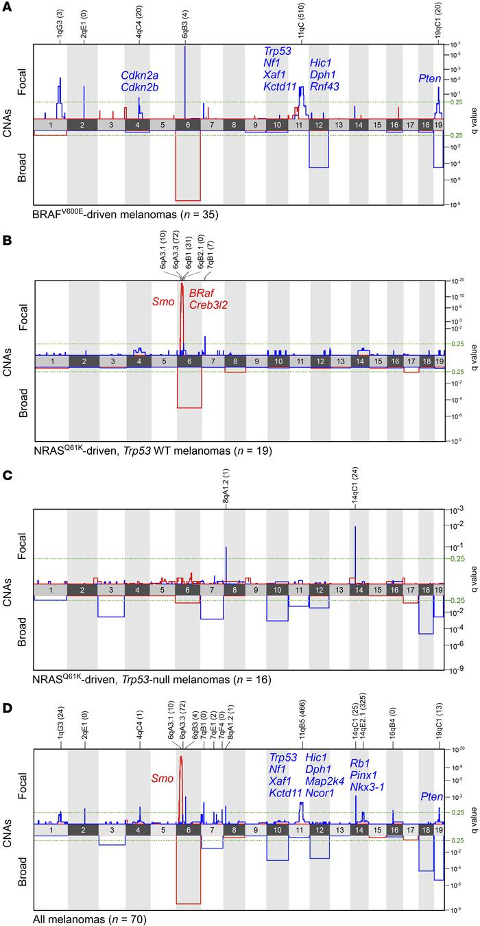 GISTIC analysis of recurrent genetic alterations in murine melanomas. Re...