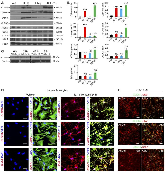 Reactive astrocytes upregulate CLDN1, CLDN4, and JAM-A in vitro and in v...