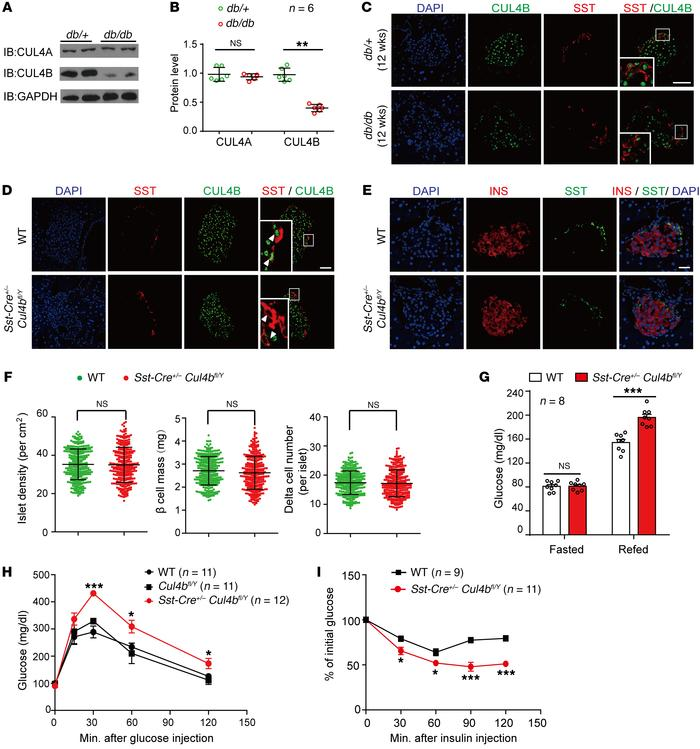 CUL4B deficiency in pancreatic δ cells impairs glucose metabolism. (A an...