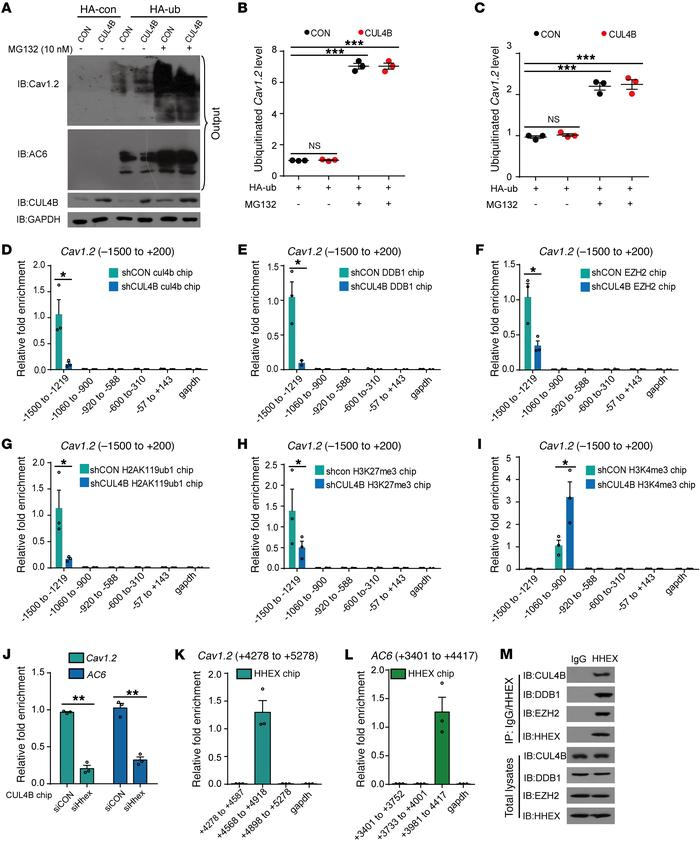 CUL4B negatively regulates Cav1.2 and AC6 expression in pancreatic δ cel...
