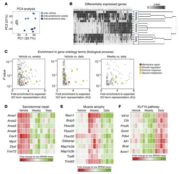 Transcriptome profiling of prednisone-treated mdx muscles. (A) RNA-seq w...