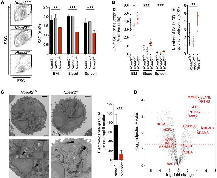 Immunophenotyping shows reduced granularity in Nbeal2–/– granulocytes. (...