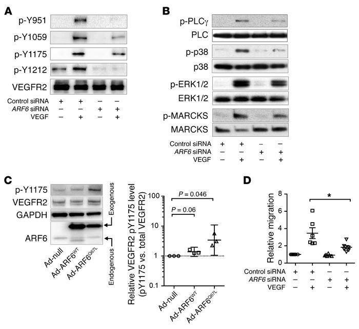 ARF6 is necessary for maximal VEGFR2 signaling in HRMECs. (A) ARF6 siRNA...