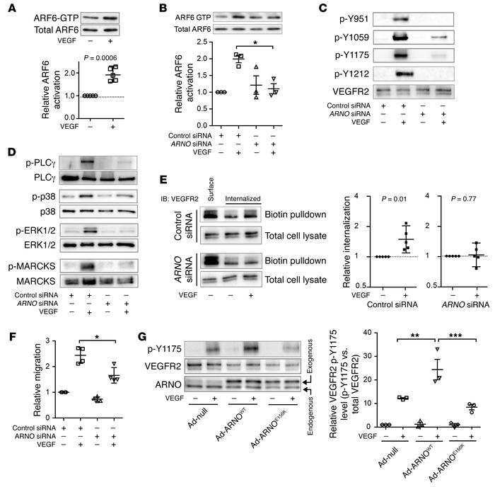 The ARF-GEF ARNO is required for VEGFR2 internalization. (A) VEGF-treate...