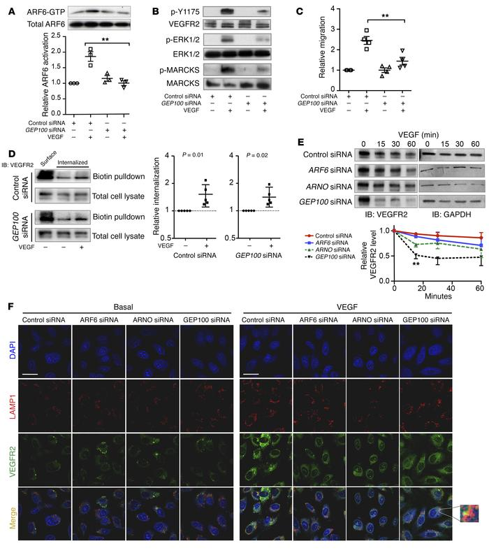The ARF-GEF GEP100 is important for VEGFR2 signaling and recycling. (A) ...
