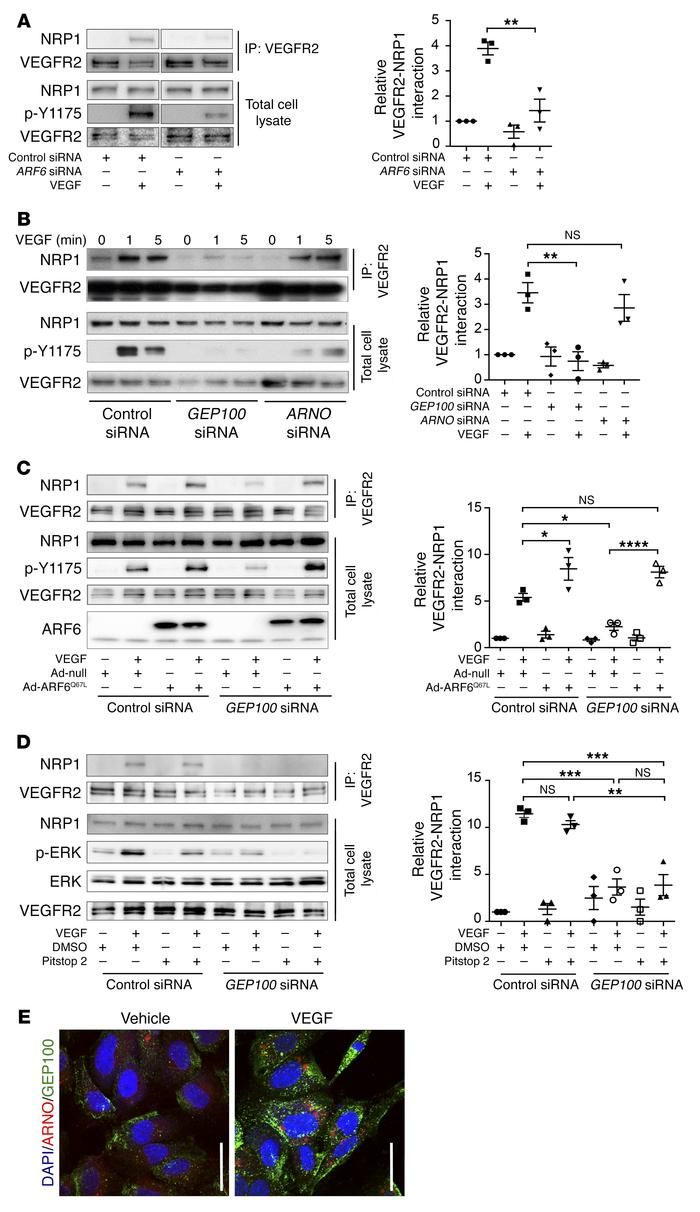 GEP100 activates ARF6 to promote binding of VEGFR2 and NRP1, which regul...