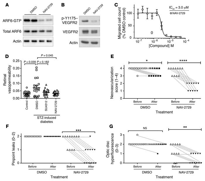 Pharmacological inhibition of ARF6 reverses permeability in mouse and ra...