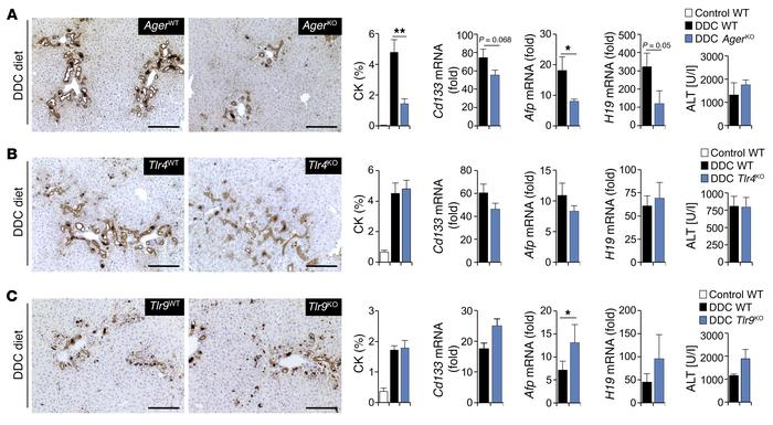 HMGB1 drives ductular reactions via RAGE but not TLR4 or TLR9. Male mice...