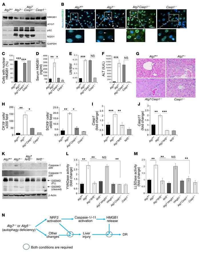 The inflammasome is involved in HMGB1 release in autophagy-deficient liv...