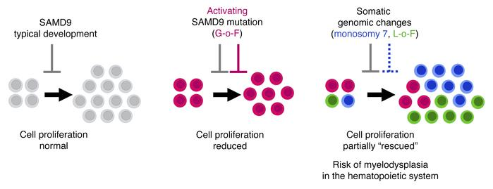 Schematic diagram showing the effects of SAMD9 on cell proliferation dur...