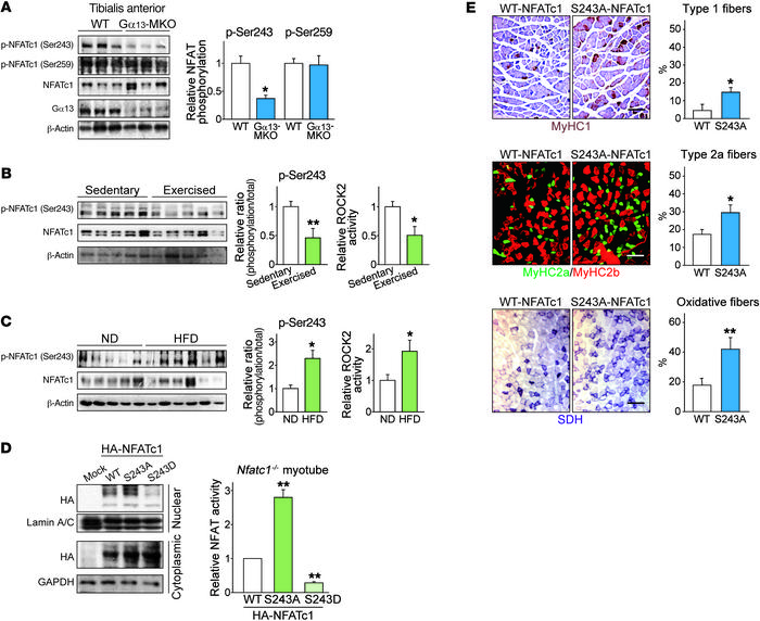 Phosphorylation at Ser243 affects NFATc1 activity in vivo. (A) Immunoblo...