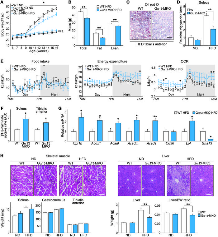 Gα13-MKO protects mice from diet-induced adiposity with increased fatty ...