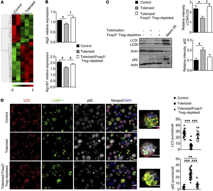 Foxp3+ Treg–mediated tolerance regulates autophagy in DCs. (A) Hierarchi...