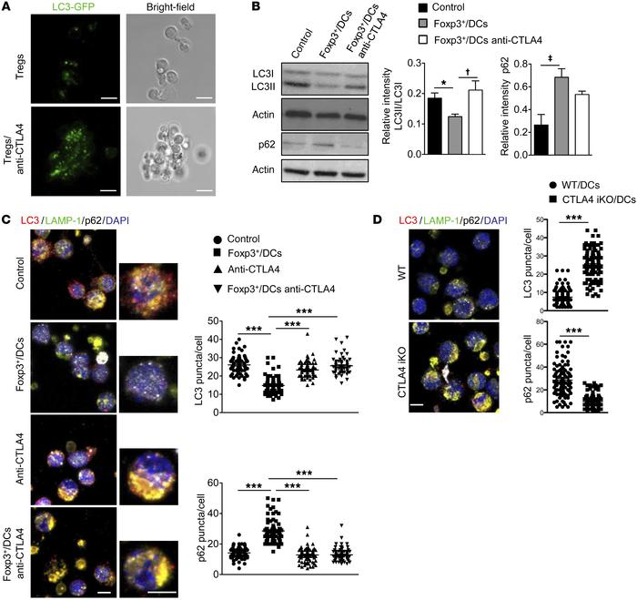 Foxp3+ Tregs modulate macroautophagy in DCs in a CTLA4-dependent fashion...
