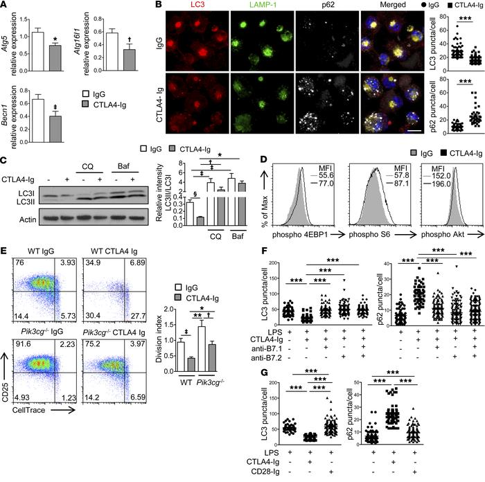 CTLA4 activates PI3K/Akt/mTOR signaling cascade to suppress canonical au...
