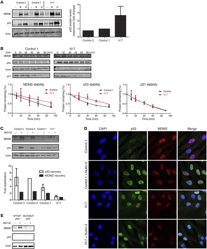 The antiterminating MDM2 mutation is defective in its regulation of p53....