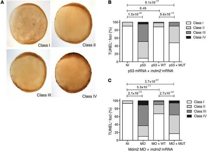 Impaired function of the antiterminating Mdm2 mutation in a zebrafish mo...