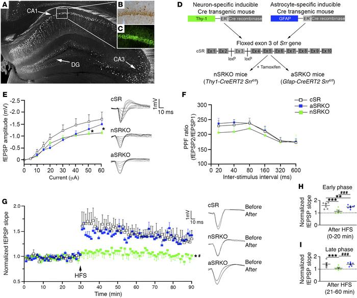 Neuronal d-serine is important for synaptic potentiation. d-serine (B) a...
