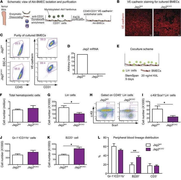 Jagged-2 expressed by BMECs promotes in vitro expansion of HSPCs. (A) Sc...