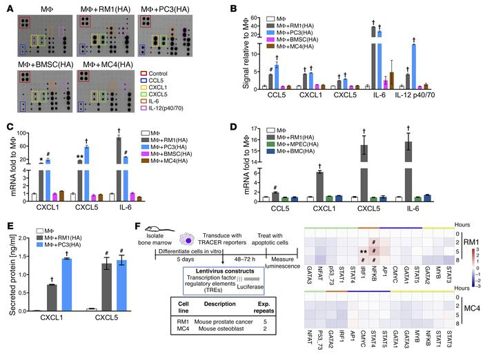 Inflammatory cytokine and transcription factor activation in cocultures ...