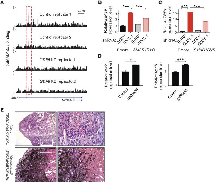GDF6-induced BMP signaling blocks melanoma cell differentiation. (A) p-...