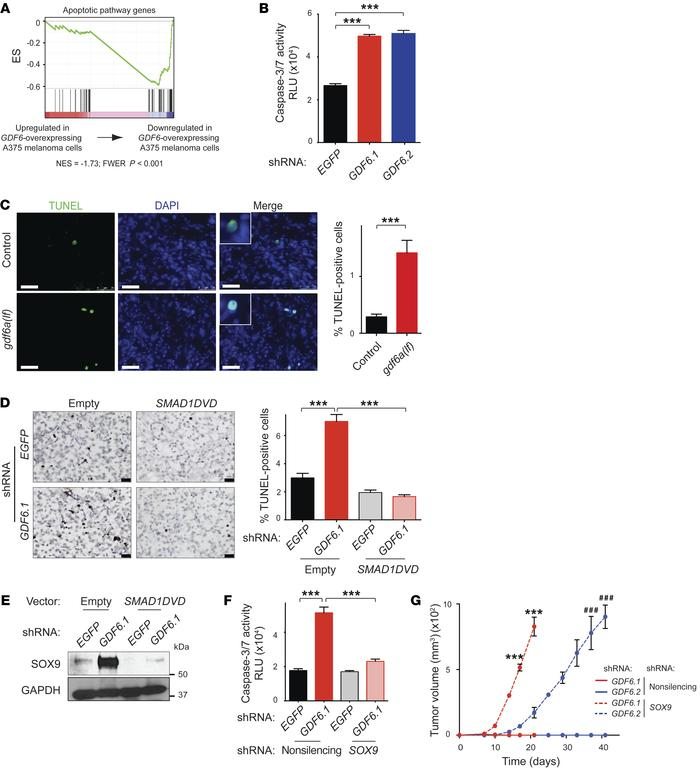 GDF6 and BMP signaling repress SOX9 to promote melanoma cell survival. ...