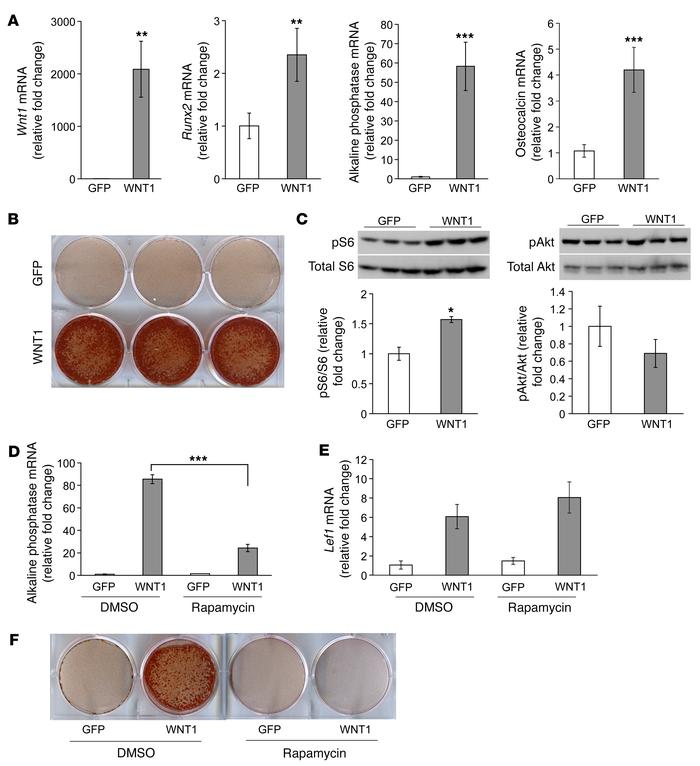 mTORC1 signaling mediated enhanced osteoblast differentiation and minera...