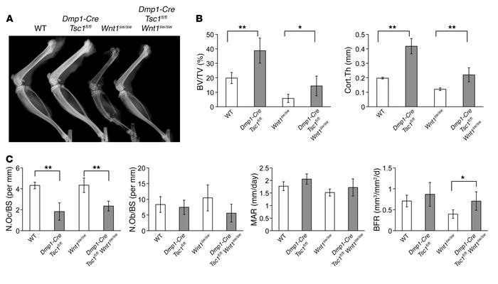 Genetic activation of mTORC1 signaling partially rescued the low bone ma...