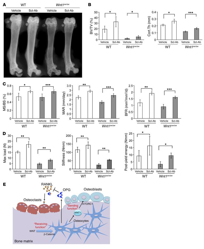 Wnt1sw/sw mice showed phenotypic corrections in femurs after treatment ...
