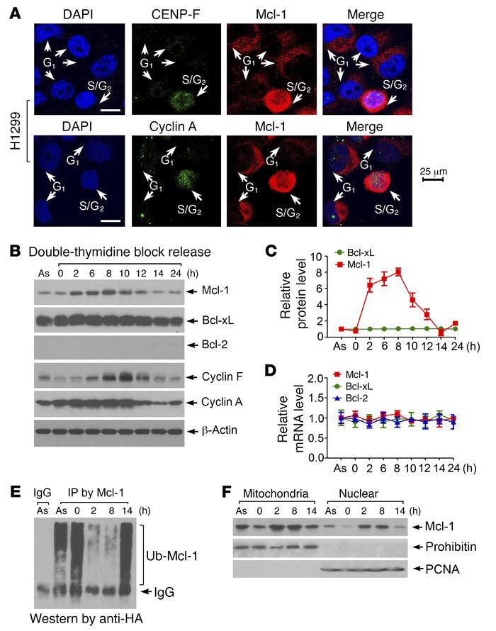 Mcl-1 is cell cycle–regulated with expression peaking in S/G2 phase. (A)...