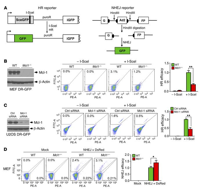Depletion of Mcl-1 downregulates HR and upregulates NHEJ. (A) Schematic ...