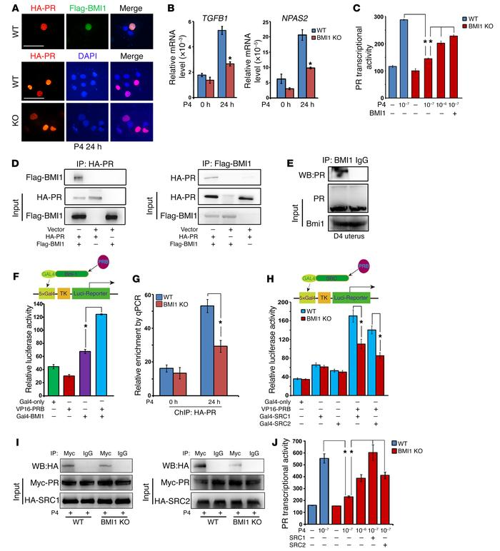BMI1 facilitates PR binding to the PRE and coactivator recruitment for t...