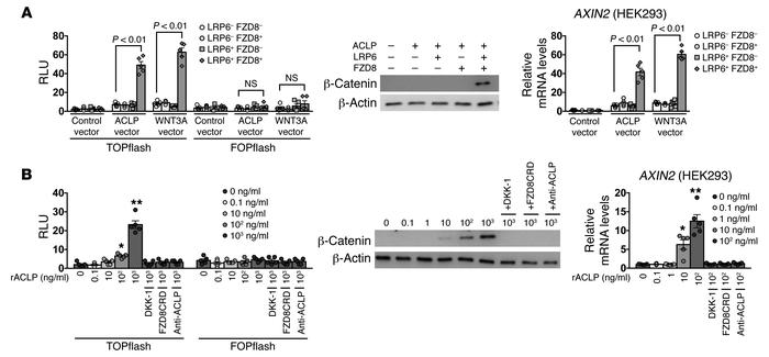 ACLP activates canonical WNT/β-catenin signaling through FZD8 and LRP6. ...