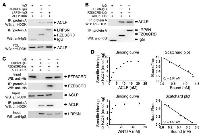 ACLP is a ligand that binds specifically to FZD8 and LRP6 receptors to f...