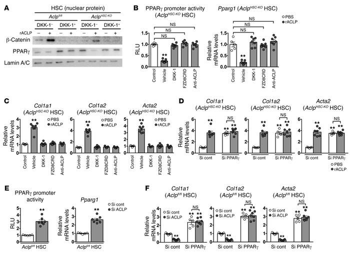 Activation of the canonical WNT pathway by ACLP activates HSCs through s...