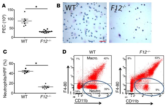 Leukocyte migration in TG-induced peritonitis. WT and F12–/– mice were i...
