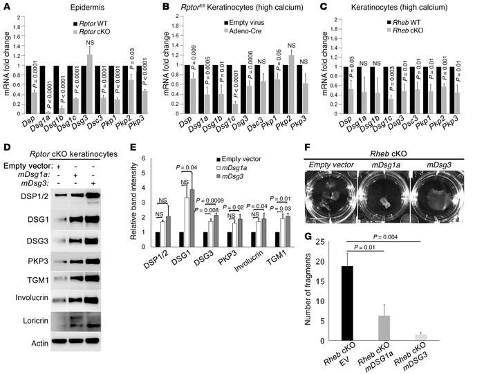 mTORC1 loss of function is associated with reduced desmosomal mRNA expre...