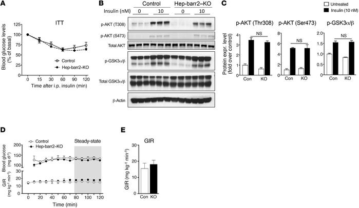 Insulin signaling is not impaired in hep-barr2–KO mice. (A) i.p. ITT. Da...