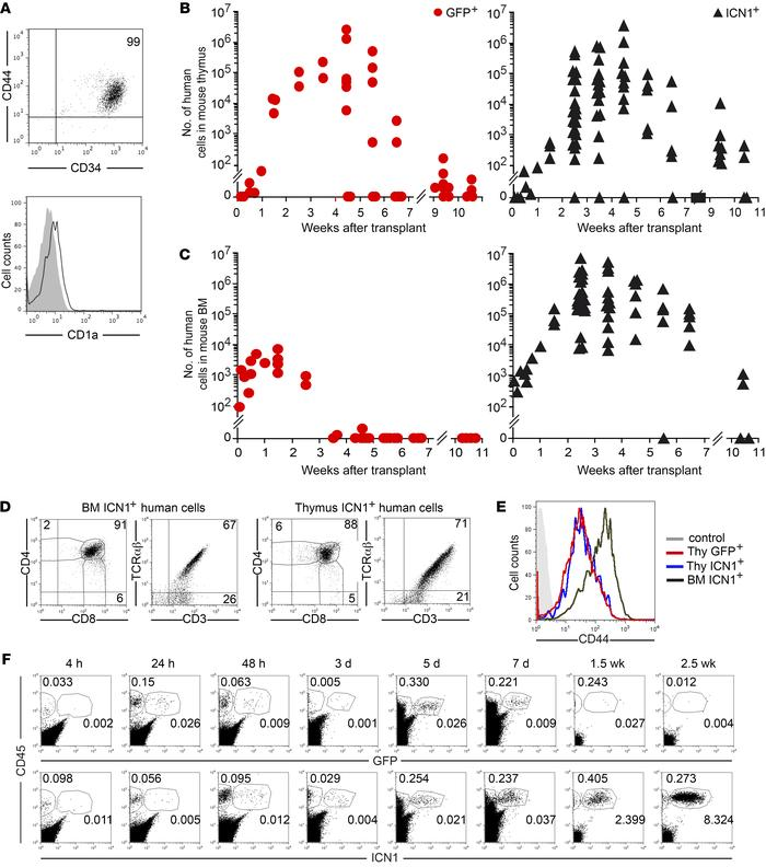 Human thymic precursors overexpressing active NOTCH1 undergo BM engraftm...