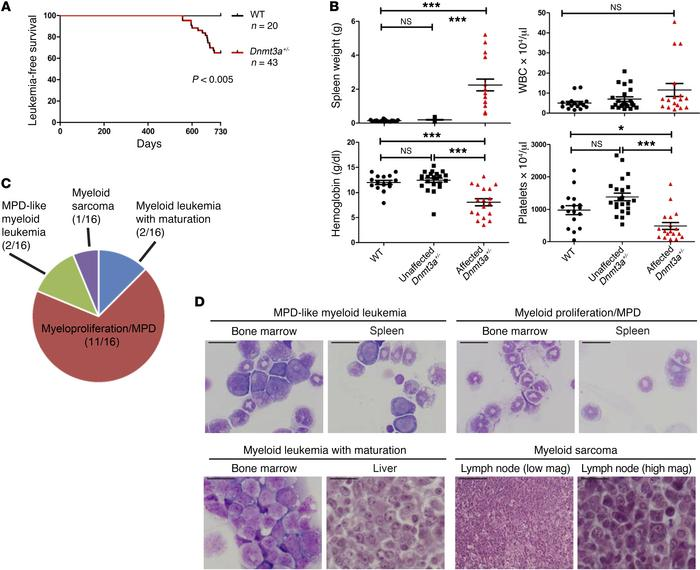 Dnmt3a+/– mice develop myeloid malignancies after a long latent period....